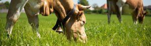 biosuisse_vacche